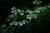 紫陽花 (Junpei♪) Tags: nikon hydrangea アジサイ 紫陽花 d7100 権現堂