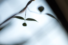 Untitled (Yuta Ohashi LTX) Tags: leaves silhouette composition garden botanical leaf nikon bokeh f14 voigtlander sl greenhouse d750 fixed 58mm nokton   focal   primelens  5814