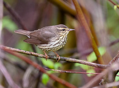 Northern Waterthrush (snooker2009) Tags: bird fall nature spring pennsylvania wildlife migration northern warbler waterthrush