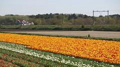 tulpenveld bij Vogelenzang op 5 mei 2016 (fotografie Molenaar) Tags: netherlands nederland bulbs bollen landschap hillegom vogelenzang binnenduinrand pnm pnmolenaar