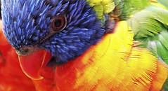 colorful bird (Simple_Sight) Tags: vogel bird bunt colorful papagei lori lorikeet rainbow ngc npc