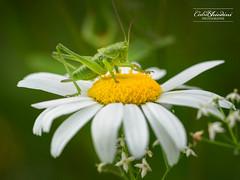 J'y crois pas, j'suis arriv en haut... (cedric.chiodini) Tags: macro insecte machin truc fleur canon5dmkiii canon bokeh
