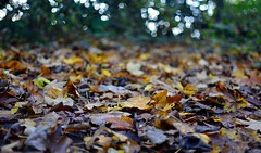 The forest floor (the_anachronist) Tags: autumn red orange brown green nature leaves forest 35mm woodland outdoors woods nikon colours floor bokeh yorkshire ground crisp messy nikkor f18 d7100