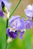 Rain soaked Iris (hz536n/George Thomas) Tags: iris copyright flower wet water rain canon spring flora bokeh michigan bok droplet canon5d prescott 2016 ogemawcounty cs5 ef300mmf4lisusm