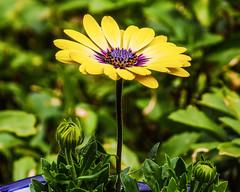 Upsy Daisy (Explored 5/10/16) (prsavagec) Tags: flower green yellow garden spring bright outdoor daisy
