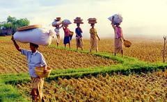 Bali Rice Harvest (gerard eder) Tags: world travel bali indonesia landscape island asia southeastasia rice landwirtschaft insel agriculture landschaft isla reise agricultura riceharvest reisernte