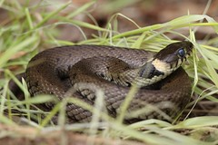 Snake in the grass... (Cosper Wosper) Tags: somerset levels westhay grasssnake natrixnatrix