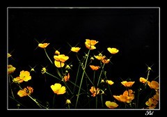 Buttercups (patrick.verstappen) Tags: flowers flower garden painting photo google nikon flickr buttercup pat facebook picassa stareffect gingelom ipernity d7100 pinterest ipiccy