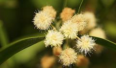 Sally wattle (judith511) Tags: blackwood naturethroughthelens sallywattle