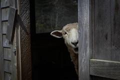 Sheep Shock (Photo Oleo) Tags: animal sheep farm maine may explore ewe 2016 horsepowerfarm