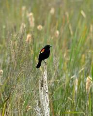 Red Winged Blackbird_20160521-7 (EHPett) Tags: bird reeds connecticut wildlife east swamp redwingedblackbird haddam beaverkillswamp
