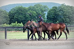 Morning Trot (melliottohaire) Tags: horses farm country polo dutchesscounty