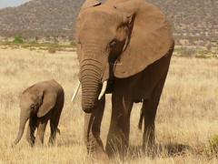 Mother and Baby Elephant ! (Mara 1) Tags: africa wild baby animals outdoors kenya wildlife tail mother ears elephants trunks samburu tusks