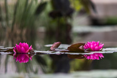 Her Hair Was Raven and Her Heart Was Like a Tomb (Thomas Hawk) Tags: flower colorado waterlily denver waterlilies botanicalgarden waterlillies waterlilly cheesmanpark denverbotanicgardens fav10 denverbotanicalgarden