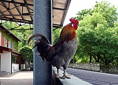 un gallo (M a r i S ) Tags: gallo rooster