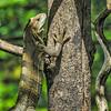 Juvenile Black Iguana (gecko47) Tags: tree costarica bokeh reptile lizard climbing iguana puntarenas centralamerica garrobo ctenosaurasimilis blackiguana blackspinytailediguana cerrolodge