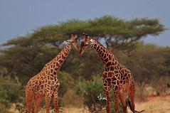 Happy World Giraffe Day - 8512b+ (teagden) Tags: africa wild nature photography nikon kenya african wildlife east safari giraffes tsavo naturephotography kenyasafari africansafari tsavoeast africanwildlife africasafari masaigiraffe wildlifephotography acaciatree kenyaafrica tsavokenya kenyawildlife jenniferhall jenhall africanphotography masaigiraffes jenhallphotography jenhallwildlifephotography dkgrandsafaris worldgiraffeday giraffeday