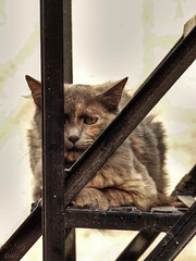 Mixtly (Balandrano David) Tags: fauna cat gatos faun natu