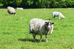 Black Face. (Cycling Saint) Tags: sheep sthelens merseyside cranksthelens nikond750nikkor105f28vr