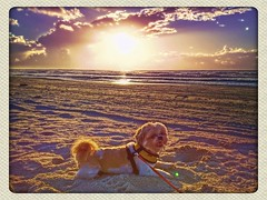 Cookie at Sunrise on Padre Island (johnnyp_80435) Tags: dog sunrise texas shihtzu seashore padreisland padreislandnationalseashore