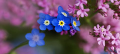 Forget me not garden days (Sheila's Scenes) Tags: blue ireland summer color colour relax days glorious lazy pinks 2016 forgetmenots skavanagh