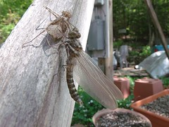 2016_0525Newly-Hatched0001 (maineman152 (Lou)) Tags: nature spring dragonfly maine may naturephotography molting molted naturephoto sloughing newlyhatched sluffing newdragonfly streamcruiserdragonfly