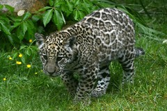 panthera onca (Joachim S. Müller) Tags: animal cat germany mammal deutschland zoo krefeld katze jaguar panther nordrheinwestfalen tier panthera säugetier pantheraonca zookrefeld jaguare groskatze