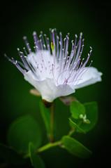 Caper flower (Angelo Petrozza) Tags: caper flowers pentax 100mm