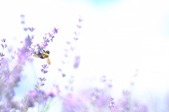 Lavender and a carpenter bee (Hideo N) Tags: lavender bee primoplan