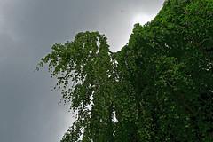 Buche in Hiltrup - 2016 - 0018_Web (berni.radke) Tags: tree giant baum beech mnster buche colossus riese hiltrup