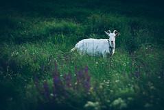 The goat (Pavel Valchev) Tags: wild film nature animals canon lens photography focus sony goat mount bulgaria mf manual alpha fd peaking nex vsco a6000 emount