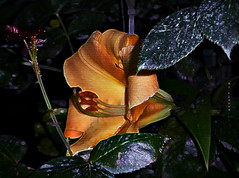"""A """"hide-and-seek"""" Lily ... and I found (lol) (ljucsu) Tags: summer plant flower june closeup lily lilies summerflower flowermacro juneflowers giantlily closeupoflily"""