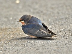 Young Swallow (tommckibbin) Tags: