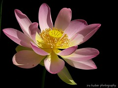Whenever you should doubt your self-worth, remember the lotus flower. Even though.... (itucker, thanks for 2.3+ million views!) Tags: macro lotus blossom dukegardens lotusblossom
