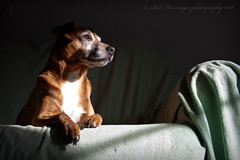 (Uncle Berty) Tags: shadow red portrait rescue dog pet sun contrast jack happy mix chair funny stag russell cross seat russel mini sofa stray lovely bathing breed dexter doo enjoying sunbathing minpin pinscher furminger