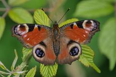 io (stefanorasicaldogno) Tags: io di occhio pavone inachis colli farfalle euganei