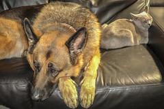 Greta & Maggie (cupra1) Tags: dog pets shepherd maggie germanshepherd burmese pussycat greta gsd germanshepherddog blueburmese