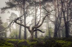 Rothiemurcuhus (Roksoff) Tags: park trees mist fog forest woodland scotland grampians foliage national birch larch aviemore juniper cairngorms scotspine lochaneilein caledonianforest leefilters bwfilters rothiemurchusestate nikond810 1635mmf4lens