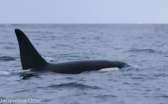 orca (jacqy85) Tags: norway wildlife dolphins whales orca killerwhales andenes noorwegen cetacean orka zwaardwalvis spekhoggere