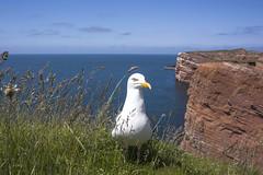 Don't Feed the Seagulls! (pwendeler) Tags: seagull northsea möwe nordsee gaviota mouette helgoland seemöwe نورس heligoland sonynex7