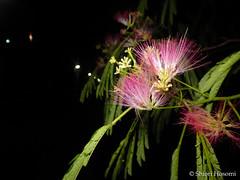 Albizia julibrissin (Shiori Hosomi) Tags: flowers plants june japan night tokyo nocturnal nightshot  fabaceae  2016  albizia fabales  noctuary     flowersinthenight noctivagant 23