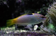 Checkerboard Wrasse (SausageArm) Tags: fish water aquarium check nikon marine aqua tank board salt salty aquatic reef checkerboard checker reefs wrasse aquatics chequer d90 18105mm