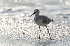 Sandpiper - 071016-074500 (Glenn Anderson.) Tags: bird seabird carolinabeach feathers hunting nikon outdoor animal sandpiper aquaticbird sand surf bokeh waves sparkle