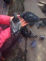 . Two pigeons (lubovhoney) Tags: yard walking fight pigeon pigeons goodshot picturethis