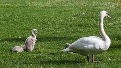 Ugly duckling (neil.bulman) Tags: babyswan swan houghton cambridgeshire huntingdonshire cygnet nationaltrust huntingdon houghtonmill bird uglyduckling england unitedkingdom gb