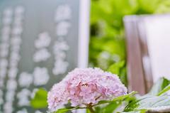 () Tags: macro film japan pentax takumar kodak bokeh ilm 55mm 400 m42 hydrangea f18 18 55 portra  spf ajisai filmphotography portra400  kodakportra400   supertakumar55mmf18   newportra400 newkodakportra400