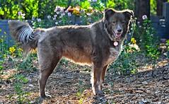 Beauty In The Backyard! (Jo-Monsoon Season I Hope!!!!) Tags: light dog beautiful animal standing back backyard panting ddc 1690 admiringtheview shizandra chocolatebordercolliemix