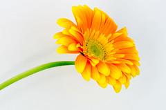 Gerbera (brendan burgess) Tags: white flower macro nature yellow pretty gerbera simple