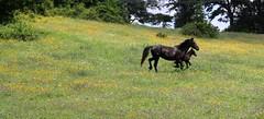 Camminare insieme (Sara Stampa) Tags: flowers horses primavera nature field trekking spring walk natura fiori cavalli camminare prati walktogether camminareinsieme campifioriti