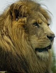 Male Lion Profile (FotoFitz3) Tags: cats canon zoo feline profile lions malelion